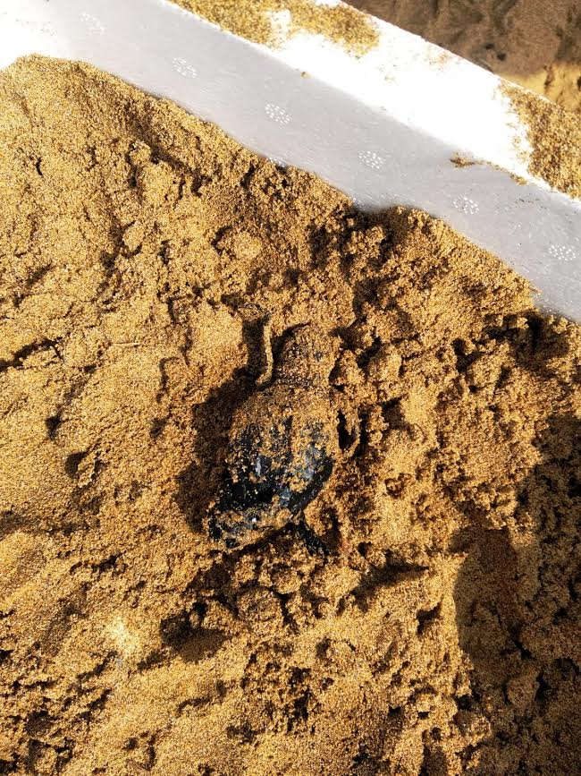 Una tortuguita medio enterrada en la arena. Imagen: CARM