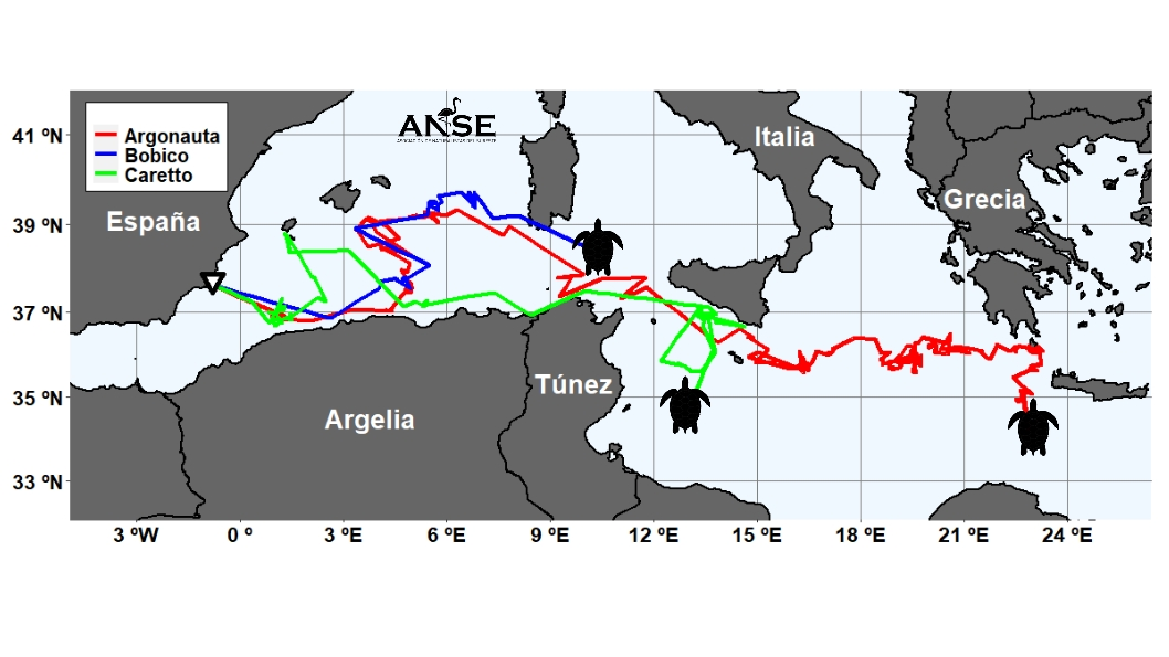 Trayectoria de las tres tortugas bobas marcadas por ANSE. Imagen: Víctor Orenes / ANSE