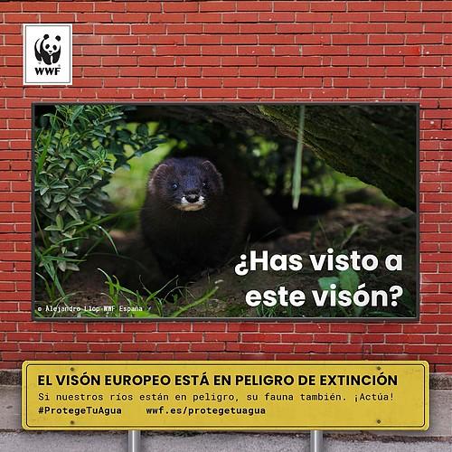 Visón europeo. Imagen: WWF